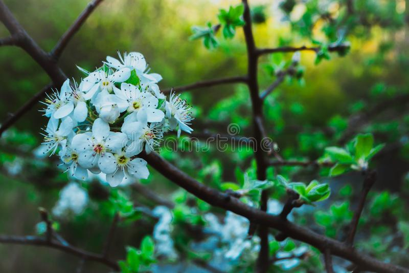 Blooming tree. Against nature background, trees, orchard, white, spring, branch, apple, beautiful, blossom, flower, season, flowers, sky, plant, cherry, floral royalty free stock photo