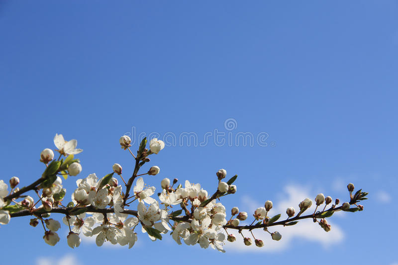 Blooming spring tree background. Simple spring background of blue sky and horizontal blooming tree branch royalty free stock image