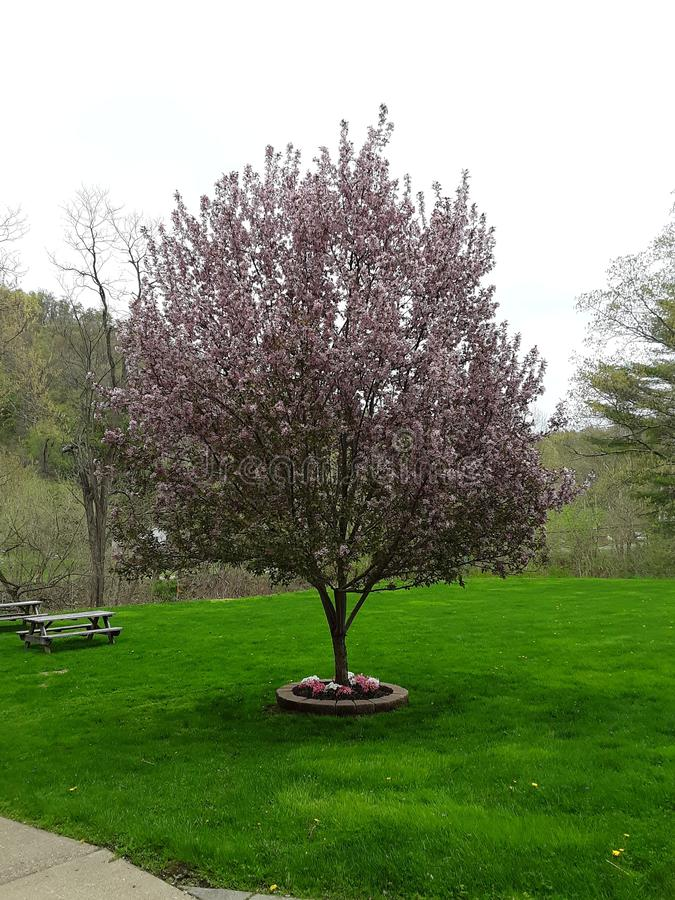 Blooming Tree at Church stock photo