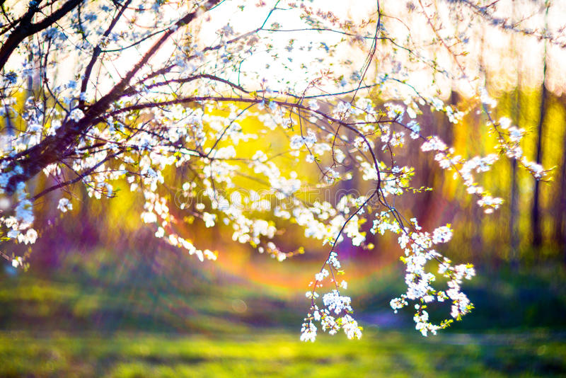 Blooming tree flowers and lens flare. Blooming tree flowers in white spring season of nature beauty sunset light and lens flare royalty free stock photo