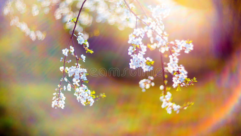 Blooming tree flowers and lens flare royalty free stock photo