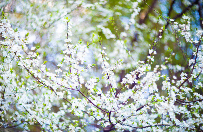 Blooming tree flowers. In white spring season of nature beauty stock image