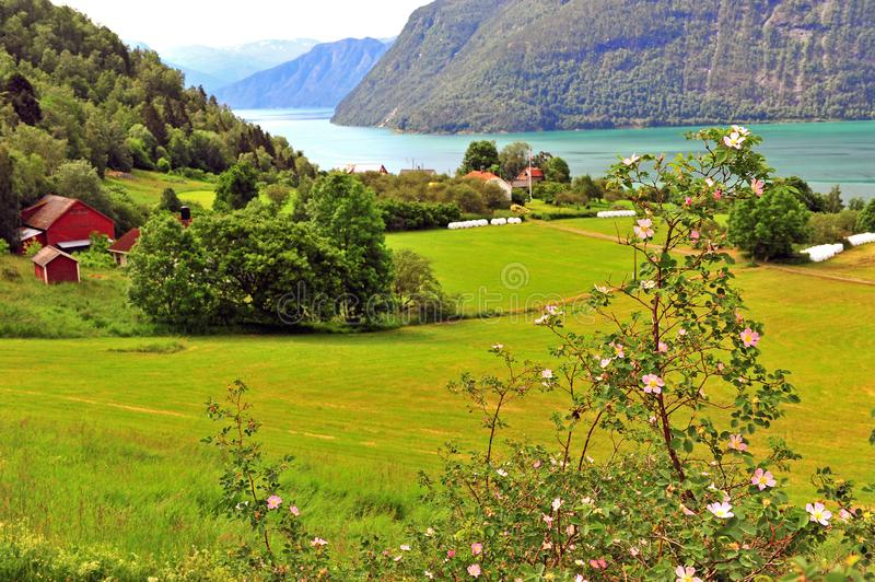 Blooming tree with green valley on background. Ornes, Norway royalty free stock photography