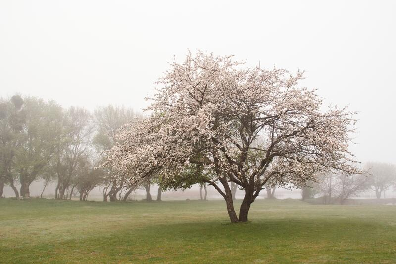 A blooming tree in a meadow against a background of other trees on a foggy morning in spring stock photography