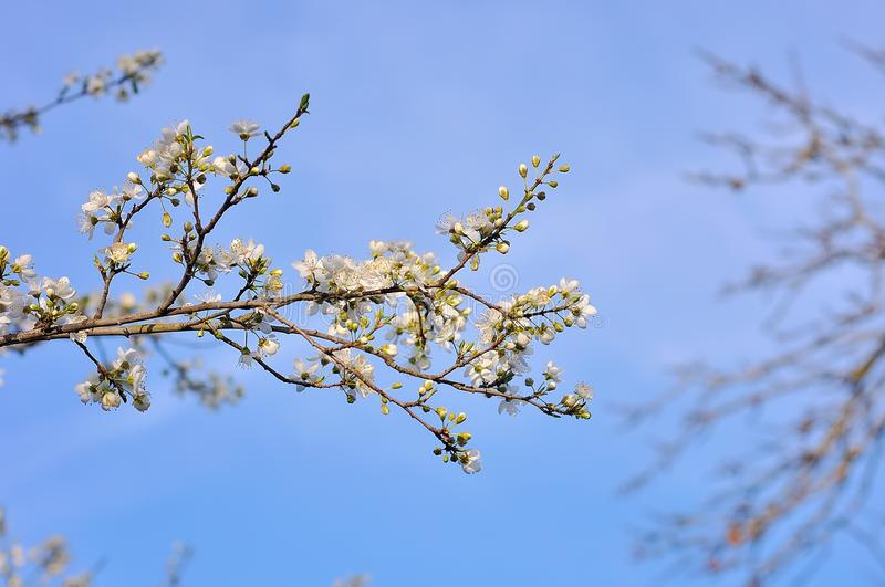 Blooming tree in spring. stock photo