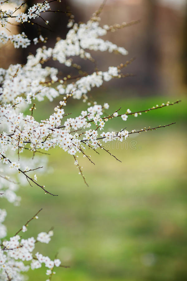 Download Blooming Tree In Spring With White Flowers Stock Photo - Image: 38784066