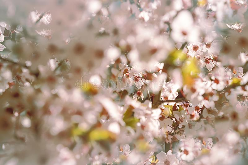 Blooming tree with white, pink flowers in morning sunshine and shadow, blurred sunlight. Soft focus. Spring blossom flower royalty free stock image