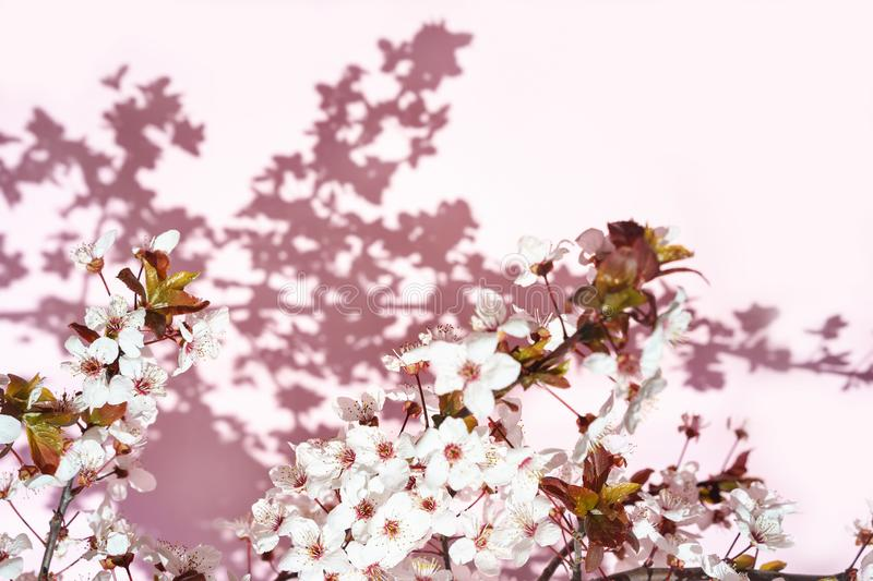 Blooming tree with white, pink flowers in morning sunshine and shadow, blurred sunlight. Soft focus. Spring blossom flower stock photo