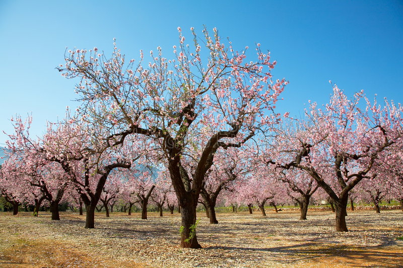 Download Blooming trees stock photo. Image of flower, cherry, light - 8153756