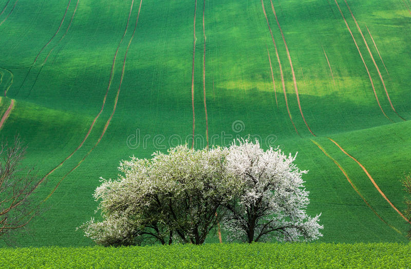 Blooming trees against green fields in spring in South Moravia. Czech Republic. Colorful landscape with fields with green grass and trees with flowers. Waves stock photo