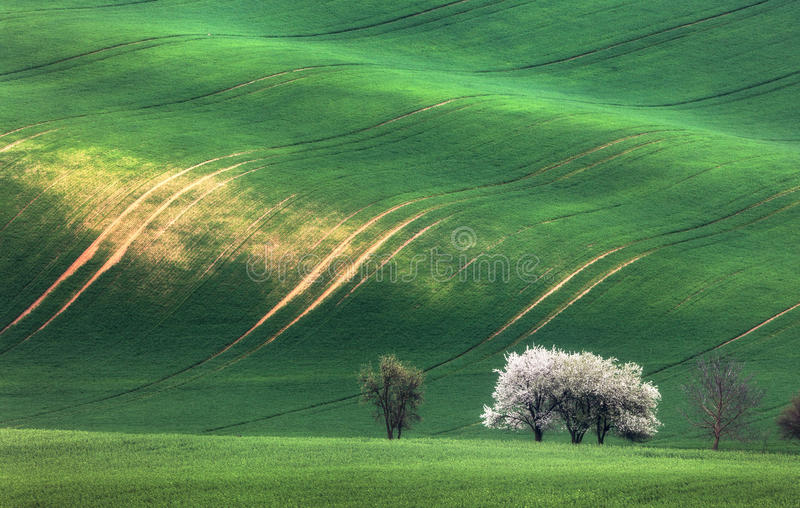 Blooming trees against green fields in spring in South Moravia. Czech Republic. Famous moravian view. Colorful landscape with fields with green grass and trees stock photos