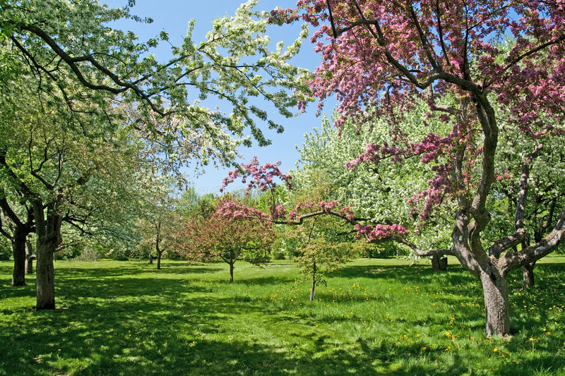 Download Blooming Trees On A Green Lawn Stock Image - Image: 23969725