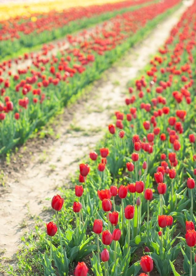 Blooming tulip field in Netherlands, rows of pink and yellow flowers. Agriculture concept design. Spring landscape. Blooming tulip field in Netherlands, rows of stock image