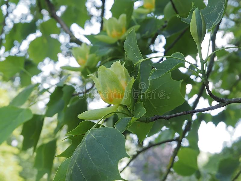 Beautiful blooming tuliptree or fiddletree. Blooming tulip tree or Liriodendron tulpifera stock photography