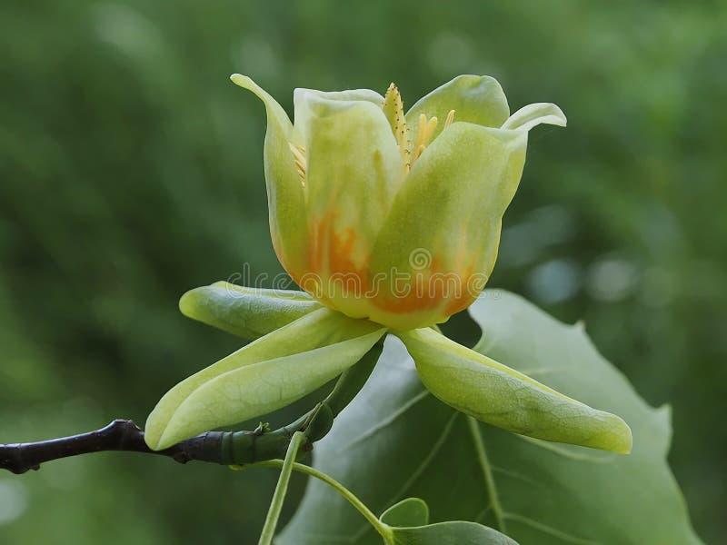 Beautiful blooming tuliptree or fiddletree. Blooming tulip tree or Liriodendron tulpifera stock photo