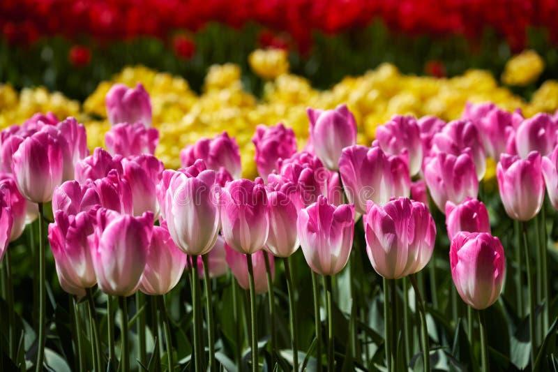 Blooming tulips flowerbed in Keukenhof flower garden, Netherland stock photo