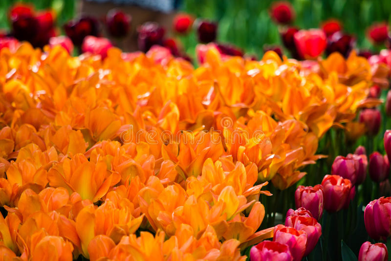 Blooming Tulips. At the Skagit Valley Tulip Festival royalty free stock photos