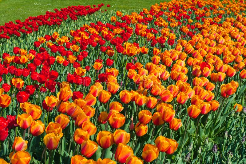 Colorful tulips field in Netherlands, Holland royalty free stock photos