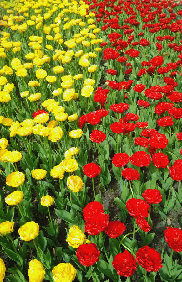 Blooming tulips of yellow and red in two vertical lines royalty free stock image