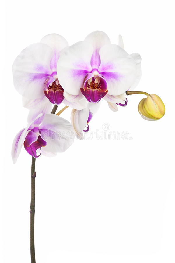 Free Blooming Twig Of White Purple Orchid Isolated On White Backgroun Stock Photo - 52369050