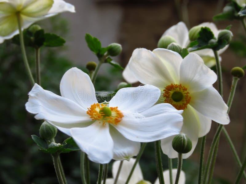 Blooming van hout Anemone, Anemone Nemorosa blooming buds Zomer-witte tuinbloemen met groene bladeren op een wazige achtergrond stock foto's
