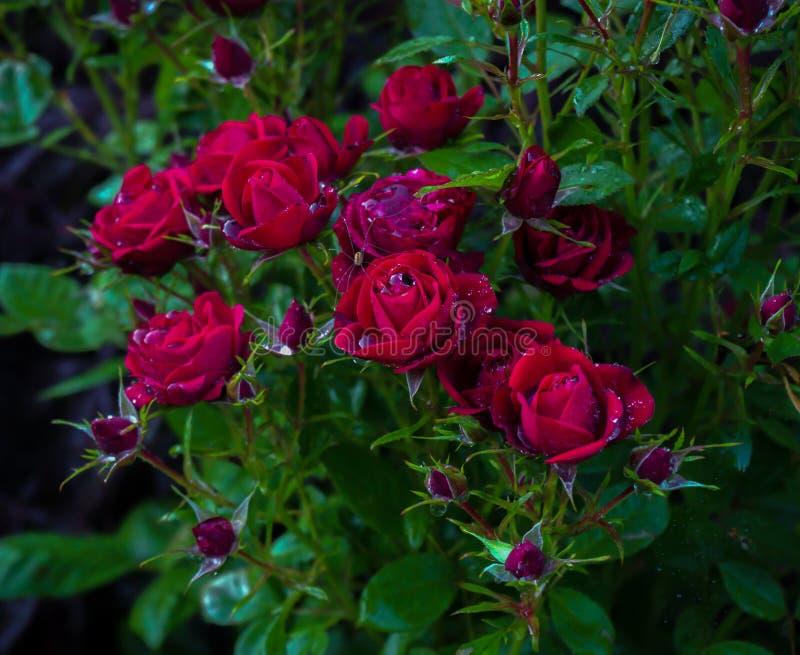 Blooming van roodroze roodroos in de tuin stock foto's