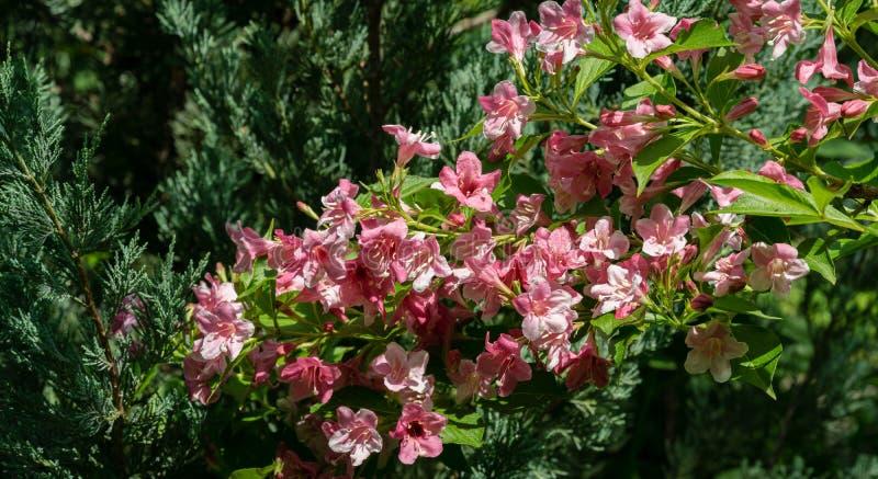 Blooming van roze bloemen van Weigela florida Luxe struik van de bloei van Weigela hybrida Rosea in de tuin van het oosten royalty-vrije stock foto's