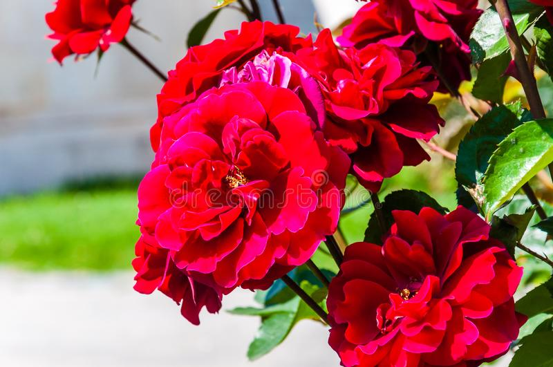 Blooming vibrant red roses shrubs in the garden. Outdoors stock photo