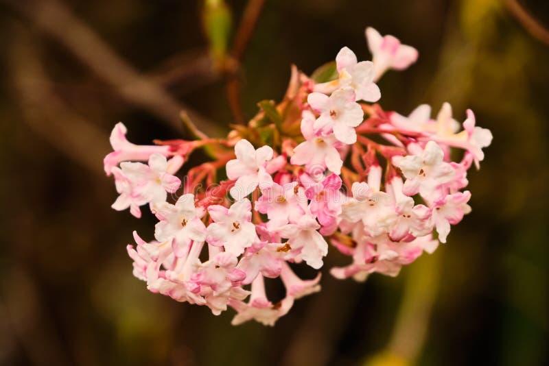 Blooming viburnum farreri shrub. Beautiful blooming viburnum farreri flower shrub close up detail royalty free stock images