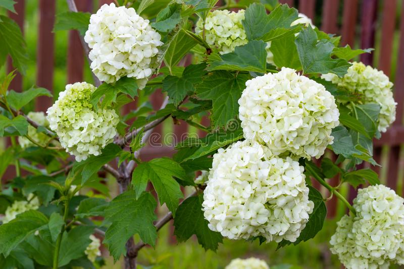 Blooming viburnum in the garden, floral white balls on a bush of viburnum. Landscaping stock photo