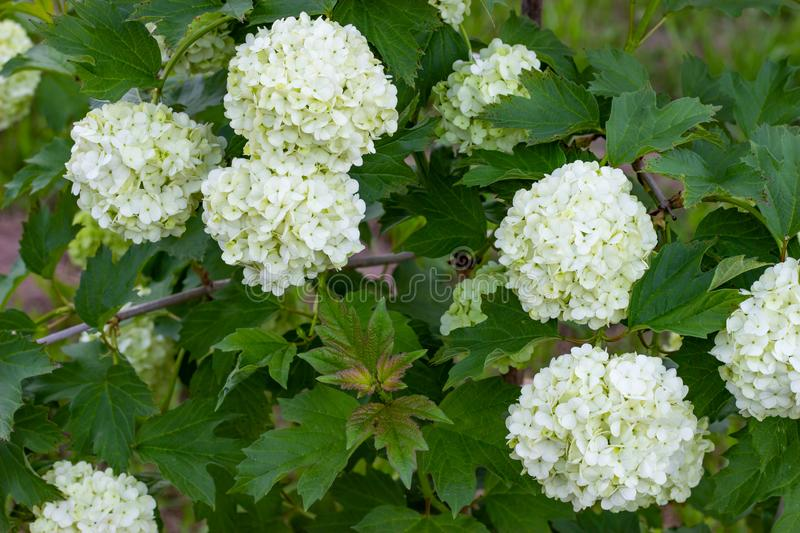 Blooming viburnum in the garden, floral white balls on a bush of viburnum. Landscaping royalty free stock photos