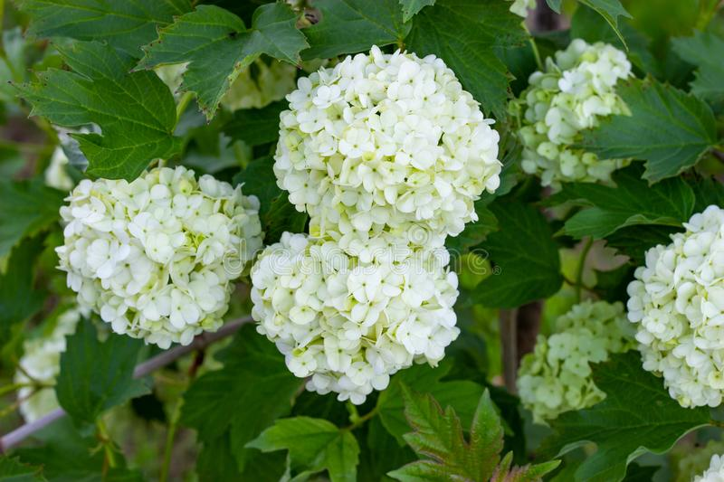 Blooming viburnum in the garden, floral white balls on a bush of viburnum. Landscaping royalty free stock images