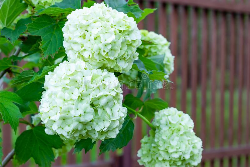 Blooming viburnum in the garden, floral white balls on a bush of viburnum. Landscaping stock photography