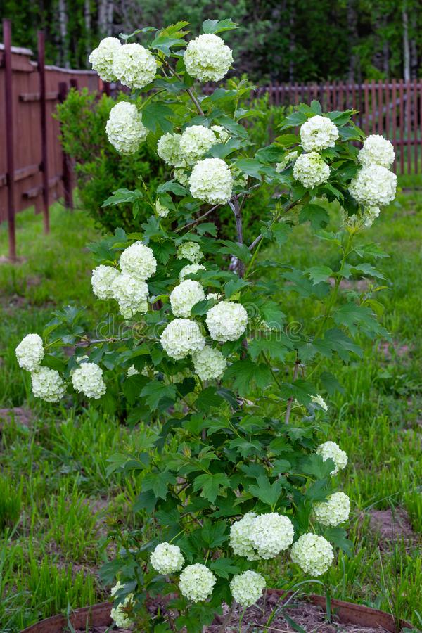 Blooming viburnum in the garden, floral white balls on a bush of viburnum. Landscaping royalty free stock photo