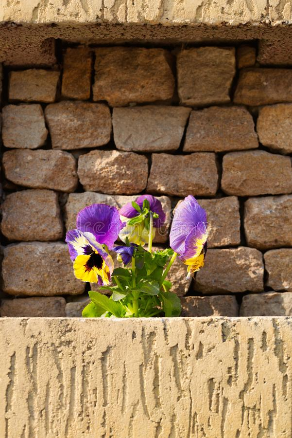 Blooming viola flowers with a stone light background stock photo