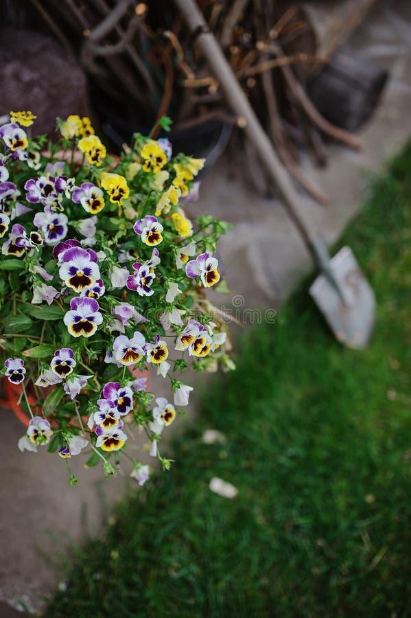 Blooming violas in summer garden with shovel on background. Blooming colorful violas in summer garden with shovel on background stock photos