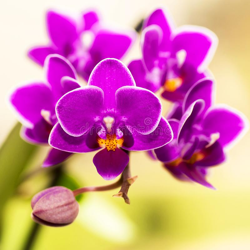 Blooming violet mini orchids on a blurred background stock photos