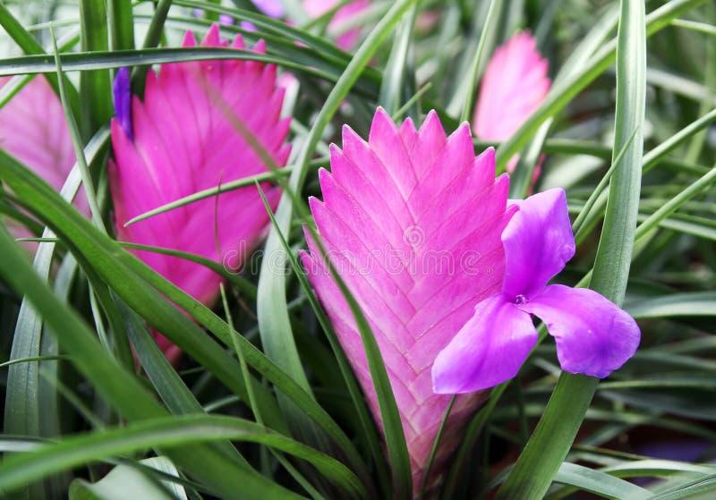 Blooming vrieziya royalty free stock photo