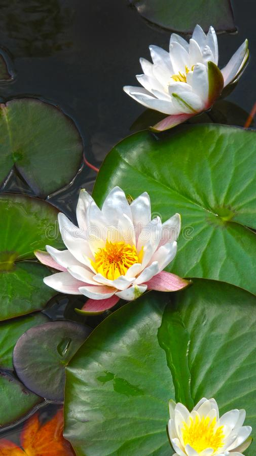 Blooming water lilies. Blooming white water lilies lotus close up royalty free stock photo