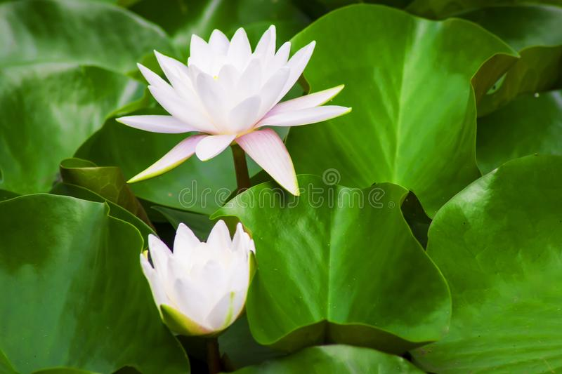 Blooming water lilies. In a garden pond stock image
