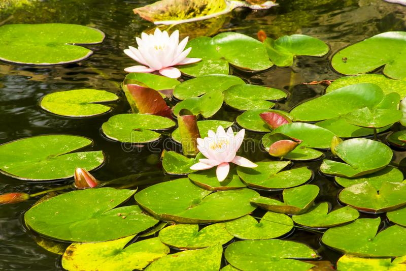 Blooming water lilies. In a garden pond stock photography