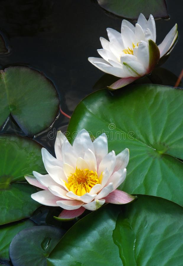 Blooming water lilies. Blooming white water lilies lotus close up royalty free stock image