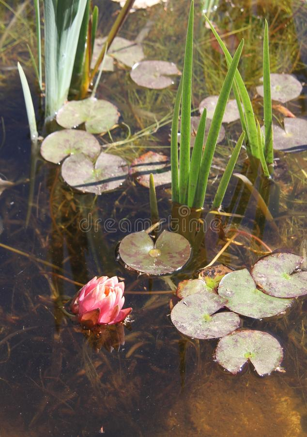 Blooming Water Lily in a pond stock photos