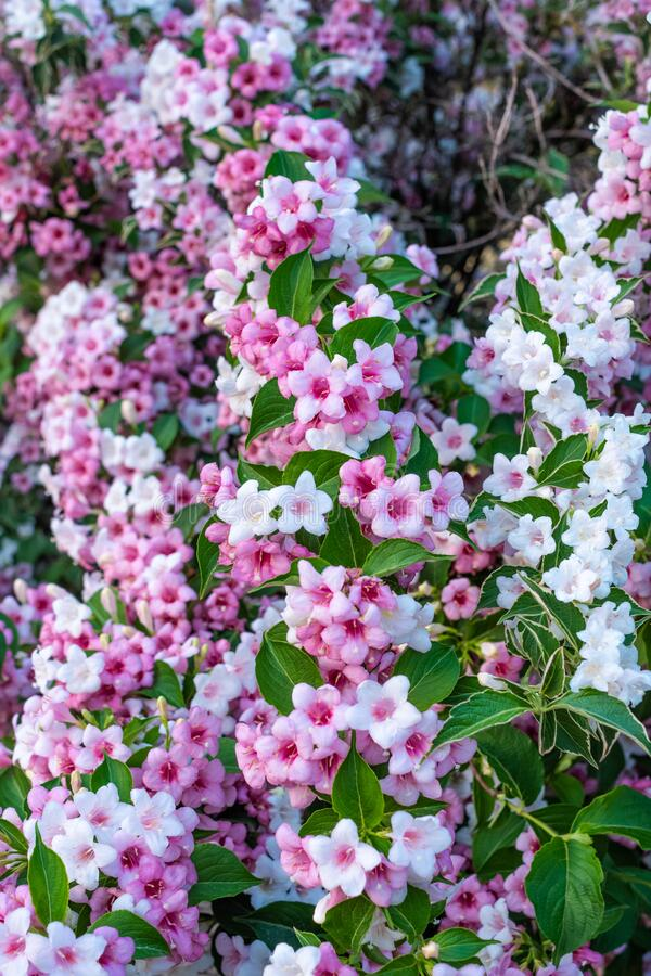 Blooming Weigela bush with pink and white flowers. Europe, Hungary stock image