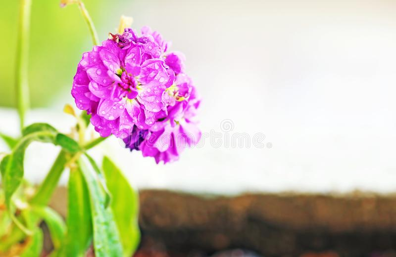 Blooming wet purple flowers with raindrops - close up flower - spring nature royalty free stock photography