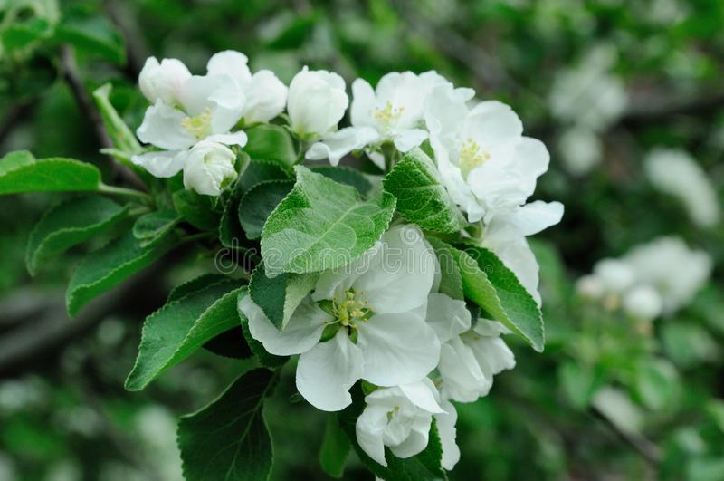Blooming white apple tree royalty free stock photos