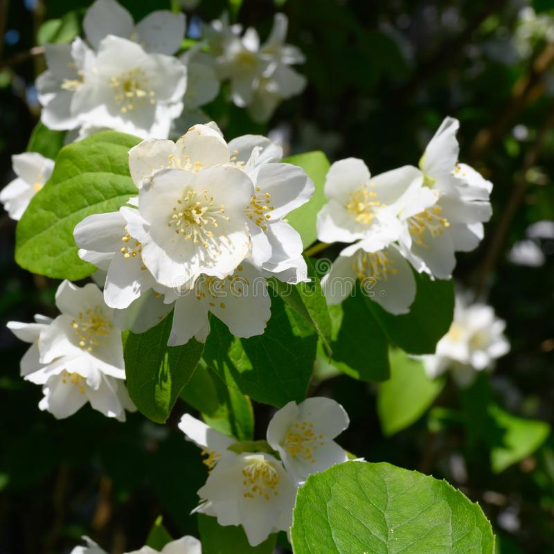 Common Jasmin - Jasminum officinale - flowering in summer royalty free stock images