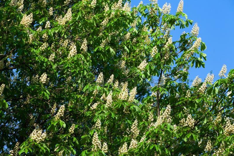 Blooming white chestnut stock photo