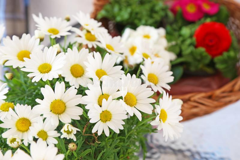 Blooming white daisies - spring flowers - blossom nature stock image