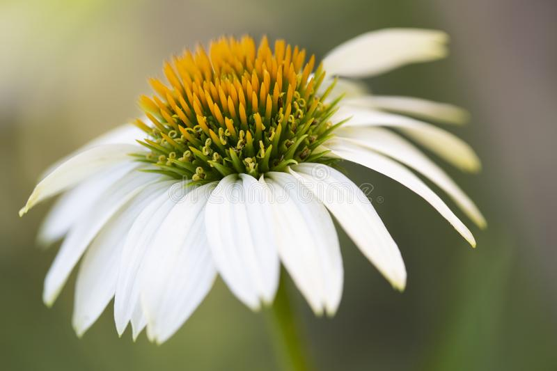 Blooming white echinacea or coneflower outside shot stock image